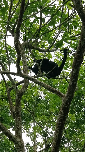 Howler Monkey at the site of the Mayan ruins